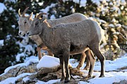 Big Horn Sheep Photos - Ladies Morning Get Together by Adam Jewell