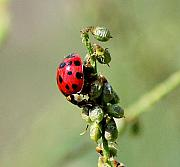 Insects And Crawley Things - Lady beetle by David Lane