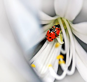 Ladybird Photos - Lady Beetles in Love by Kaye Menner