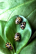 Beetle Photos - Lady Beetles by Science Source