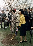 Lyndon Johnson Presidency Framed Prints - Lady Bird Johnson Planting A Tree Framed Print by Everett