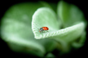 Lady Bug Framed Prints - Lady Bug Framed Print by Linda Pulvermacher