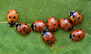 Ladybugs Photos - Lady Bugs Playing Survivor by Bob Christopher