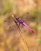 Dragonfly Macro Photos - Lady in Pink by Elizabeth Budd