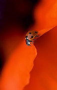 Ladybird Photos - Lady in Red by Jacky Parker