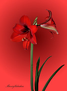 Amaryllidaceae Prints - Lady in Red Print by Kristin Elmquist