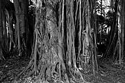 Banyan Art - Lady in the Banyans by David Lee Thompson