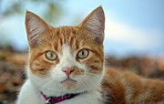 Staring Cat Photos - Lady Marmalade by Fraida Gutovich
