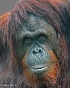 Orangutan Photos - Lady Of The Forest by Larry Linton