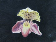 Orchid Drawings - Lady Orchid by John Lasco