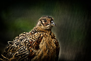 Pheasant Photos - Lady Pheasant by Karol  Livote