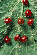 Septempunctata Prints - Ladybird Beetles Eating Aphids On A Nettle Leaf Print by Dr Jeremy Burgess