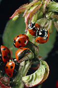 Septempunctata Prints - Ladybird Beetles Mating On A Rose Stem Print by Dr Jeremy Burgess