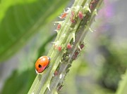 Insects Pastels - Ladybird going to dine on ayphids by Eamon Gilbert