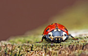 Longhorn Photos - Ladybird by John Jeffery (JJ)