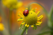 Longhorn Photos - Ladybird by Mandy Disher Photography