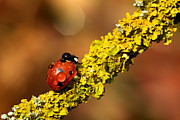 Lichen Image Framed Prints - Ladybird On Branch Framed Print by MarkBridger