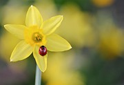 Longhorn Photos - Ladybird On Daffodil by Pallab Seth