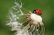 Ladybird Photos - Ladybird on dandelion flower by Pics For Merch