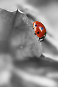 Selective Color Framed Prints - Ladybird On Leaf 1.0 Framed Print by Yhun Suarez