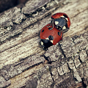 Longhorn Photos - Ladybirds by BlackCatPhotos