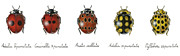Insects Pastels Posters - Ladybirds Poster by Marina Durante