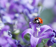 Bellflower Prints - Ladybug and Bellflowers Print by Nailia Schwarz