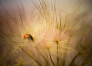 Dandelions Framed Prints - Ladybug and Dandelions Framed Print by Iris Greenwell