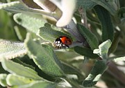 Ladybug Posters - Ladybug and Sage Leaves Poster by Carol Groenen