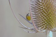 Thistles Photos - Ladybug Croosing The Prickles  by Jeff  Swan