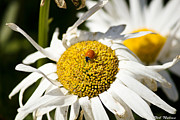 Rob Nelms - Ladybug Daisy