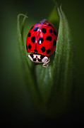 Ladybird Framed Prints - LadyBug Framed Print by Garuna Liu