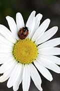 Insect Framed Prints - Ladybug on a Daisy Framed Print by Andrew Campbell