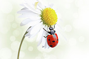Ladybug Framed Prints - Ladybug on daisy flower Framed Print by Pics For Merch
