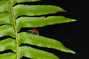 Jean Noren Framed Prints - Ladybug on fern Framed Print by Jean Noren