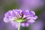 Longhorn Photos - Ladybug On Flower by Barbaracarrollphotography
