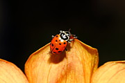 Macro Photos Prints - Ladybug On Orange Yellow Dahlia . 7D14665 Print by Wingsdomain Art and Photography
