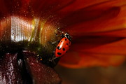 Photograph Of Dahlia Prints - Ladybug On Orange Yellow Dahlia . 7D14677 Print by Wingsdomain Art and Photography