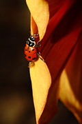 Photograph Of Dahlia Prints - Ladybug On Orange Yellow Dahlia . 7D14679 Print by Wingsdomain Art and Photography