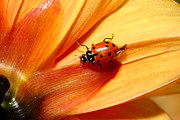 Photograph Of Dahlia Prints - Ladybug On Orange Yellow Dahlia . 7D14686 Print by Wingsdomain Art and Photography