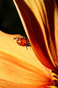 Photograph Of Dahlia Prints - Ladybug On Orange Yellow Dahlia . 7D14698 Print by Wingsdomain Art and Photography