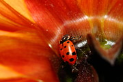 Photograph Of Dahlia Prints - Ladybug On Orange Yellow Dahlia . 7D14737 Print by Wingsdomain Art and Photography