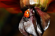 Colorful Photos Prints - Ladybug On Orange Yellow Dahlia . 7D14743 Print by Wingsdomain Art and Photography