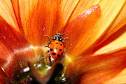 Photograph Of Dahlia Prints - Ladybug On Orange Yellow Dahlia . 7D14749 Print by Wingsdomain Art and Photography