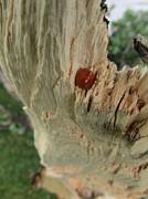 Ladybug Print by Todd Sherlock
