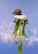 Floral Pyrography Metal Prints - Ladybugs Dandelion Metal Print by Falko Follert
