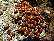 Bouldercounty Prints - Ladybugs Print by George Tuffy