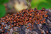 Mass Framed Prints - Ladybugs on branch Framed Print by Garry Gay