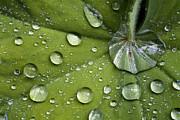 Dewdrops Prints - Ladys Mantle Leaf (alchemilla Mollis) Print by Dr Keith Wheeler