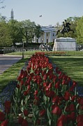 House Plants Framed Prints - Lafayette Park Spring Tulips Lead Framed Print by Stephen St. John